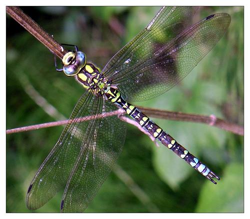 Dragonfly_on_a_stem_by_Mennonot